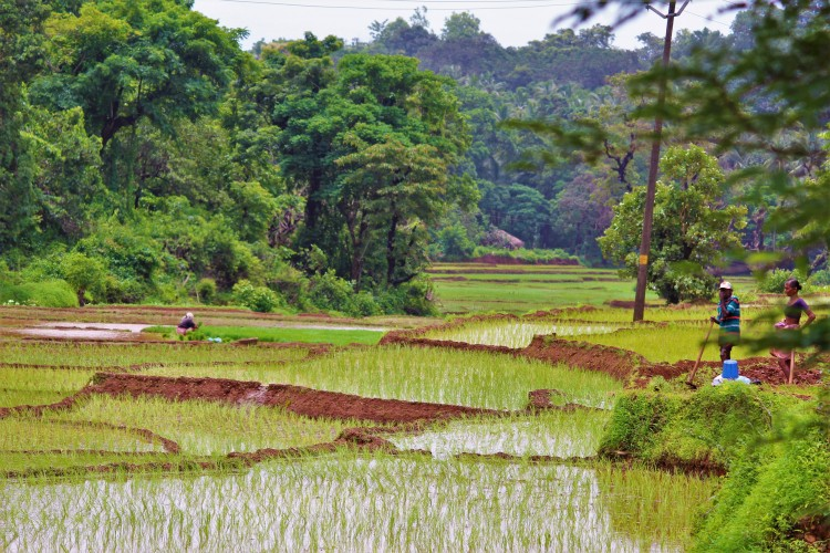 Farmers prepare to work on the paddy fields