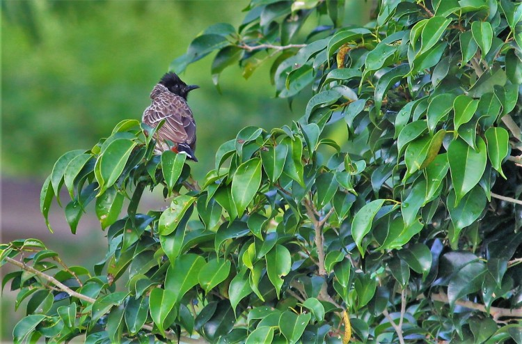 I also manage to spot a red-vented bulbul perched on a tree.